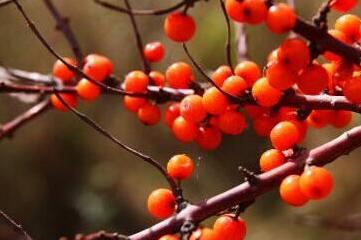 IQF sea buckthorn berries